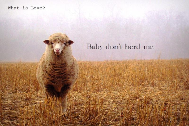 funny-sheep-caption-what-is-love-song